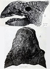 Two views of Ankylosaurus skull, from above and from the left