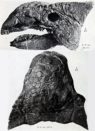 Ankylosaurus - Skull (AMNH 5214) from the side and above