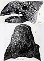 Ankylosaurus skull AMNH.jpg