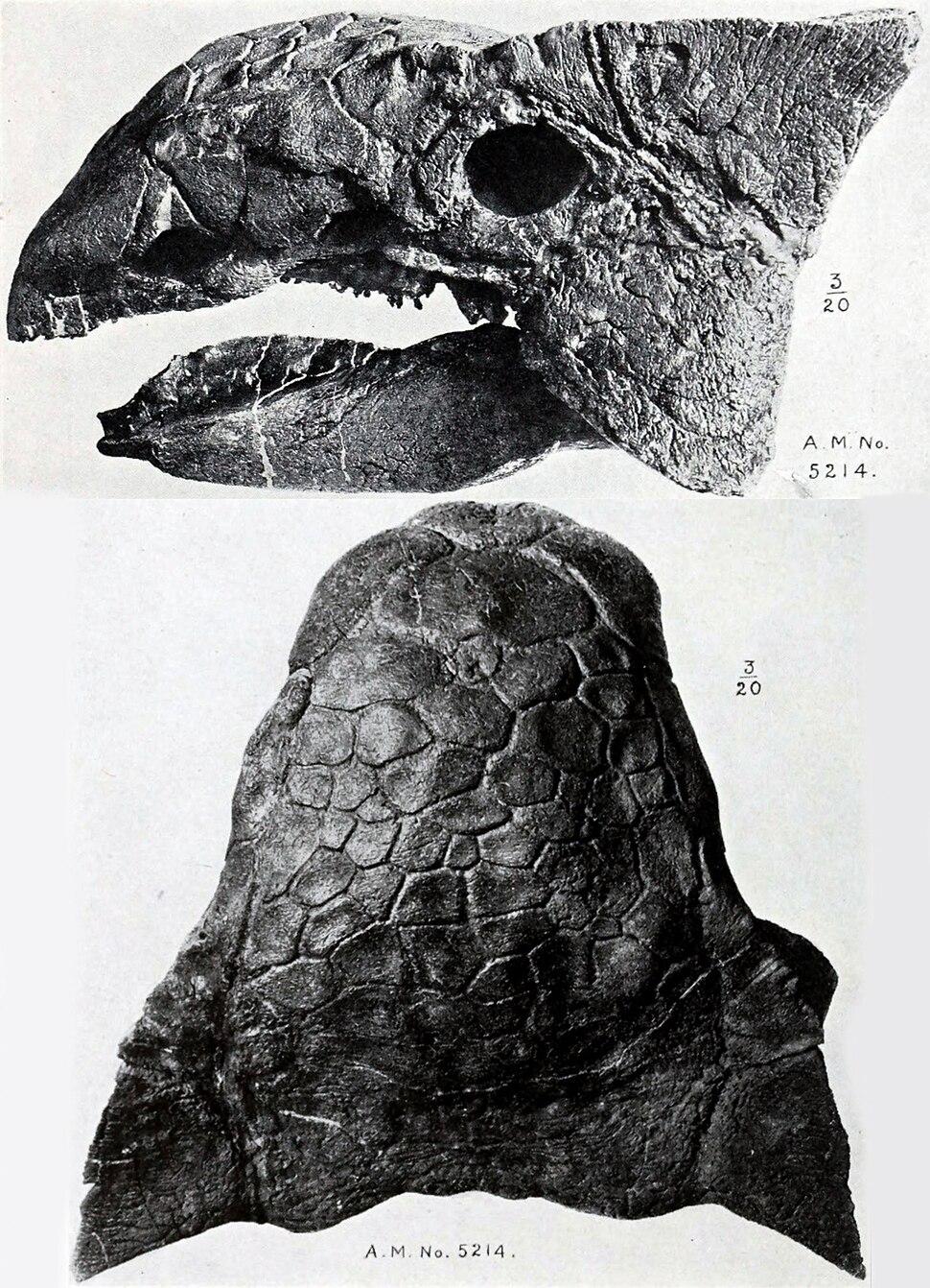 Ankylosaurus skull AMNH