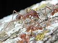 Ant, Harvester (239161491).jpg