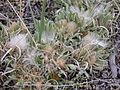 Antennaria dimorpha (3998242092).jpg