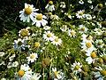 Anthemis cotula inflorescence (02).jpg