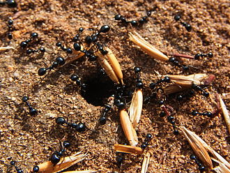 Harvester ant - Messor sp. carrying seeds into their nest