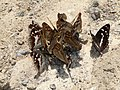 Apatura eat frog 2010 G5.jpg