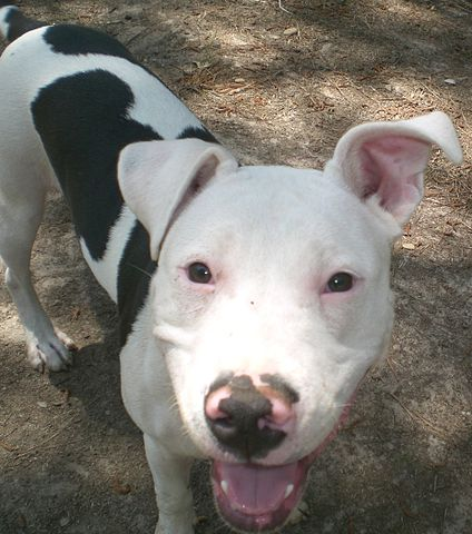 White Large Pitbull Looking Dog