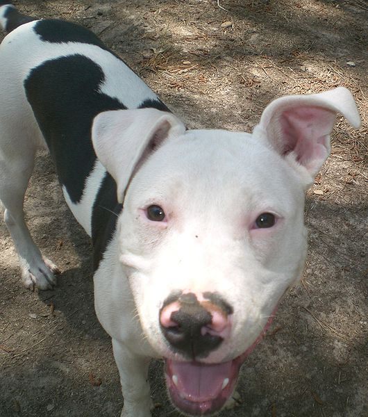 Bully Dog Rescue Texas