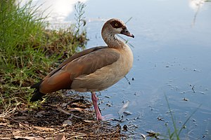 Mauritius sheldgoose - The related Egyptian goose