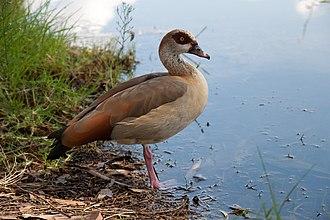 Mauritius sheldgoose - The related Egyptian goose