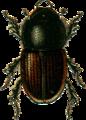 Aphodius erraticus Jacobson.png