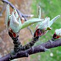 Apple buds opening up - geograph.org.uk - 1218908.jpg