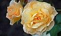 Apricot Meilove (Meilland 2007).jpg