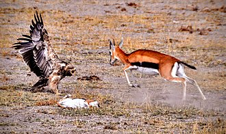 Doe defending dead fawn from eastern imperial eagle Aquila heliaca vs. Eudorcas thomsonii.JPG
