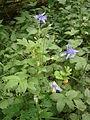 Aquilegia vulgaris RHu 002.JPG