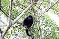 Araguato o Mono aullador - panoramio (1).jpg