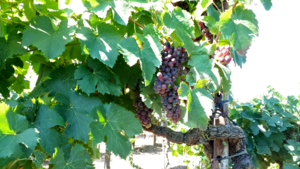 Aramon (grape) - Old grape in Bessan, southern France