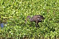 Aramus guarauna (Limpkin) 05.jpg