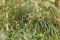 Araneus.quadratus.web.jpg