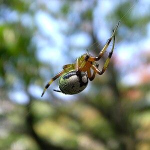 Araneus mitificus - Image: Araneus mitificus by Open Cage