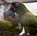 Aratinga acuticaudata -Madeira -captive-8a (1).jpg