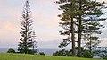 Araucaria heterophylla Endeavour Lodge Norfolk Island 5.jpg