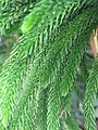 Araucaria subulata (close-up).jpg