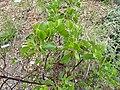 Arctostaphylos mewukka ssp. truei - University of California Botanical Garden - DSC09024.JPG