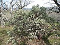 Arctostaphylos viscida - Flickr - brewbooks (1).jpg