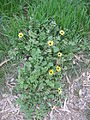 Arctotheca calendula plant4 (11767980214).jpg