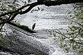 Ardea cinerea in Aveyron 06.jpg