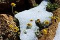 Argentina - Bariloche trekking 079 - determined alpine flowers (6797918503).jpg