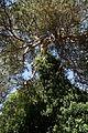 Arkesden Scots Pine and ivy Essex, England 1.jpg