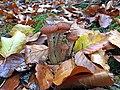 Armillaria ostoyae 61010630.jpg