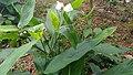 Arrowrootഃ plant flower 05.jpg