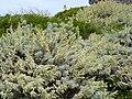 Artemisia arborescens 2 (Corse).JPG