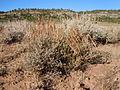 Artemisia nova (5042300750).jpg