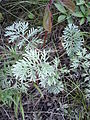 Artemisia pancicii sl 3.jpg