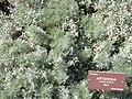 Artemisia schmidtiana.jpg
