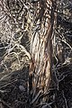 Artemisia tridentata kz10.jpg