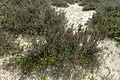 Arthrocnemum macrostachyum kz3.jpg