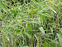 Arundinaria pumila1.jpg