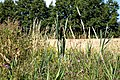 Ash parish in Kent England - Cooper Street Drove road and stream vegetation.jpg