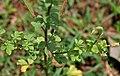 Asian spiderflower (Cleome viscosa) in Anantgiri, AP W IMG 8891.jpg