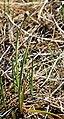 Aspen onion Allium bisceptrum buds leaves.jpg