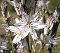 Asphodelus ramosus8.jpg