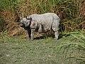 AssameserhinoceroIndian.JPG