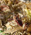 Assassin Bug.. Reduviidae. Rhinocoris erythropus - Flickr - gailhampshire (4).jpg