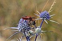 Assassin bug (Rhynocoris iracundus) with bee (Apis ssp) prey.jpg