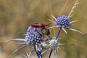 Assassin bug (Rhynocoris iracundus) with bee (Apis ssp) prey.jpg