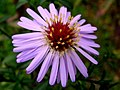 Aster tataricus - シオン (植物) - flor estrella (6883888005).jpg